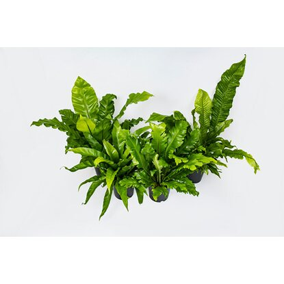 Zanokcia (Asplenium sp.) mix wys. 35-50cm don. 17cm