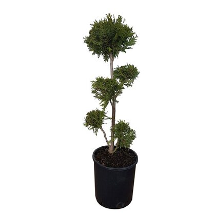 Thuja occidentalis - Brabant don. 10 l wys. 70 cm