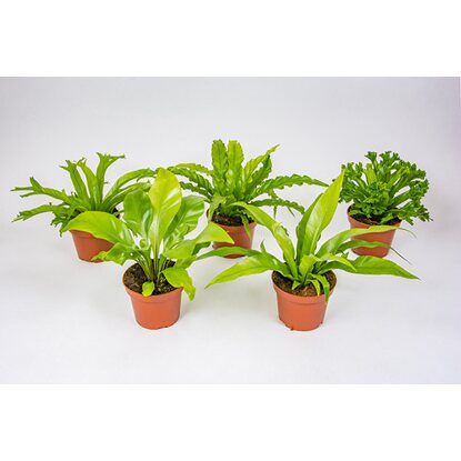 Asplenium mix 1 basic wys. 20-30cm don. 12cm