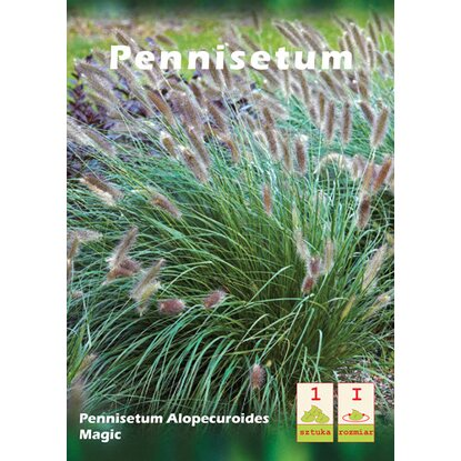 Pennisetum Magic 1 szt.
