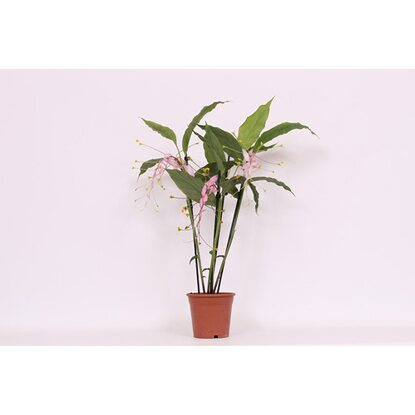Globba Winitii mix 2-stem Wys. 65cm don. 14cm