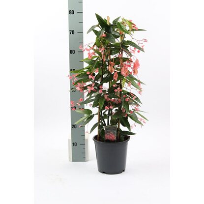 Begonia Corallina Pink Wys. 60cm don. 19cm