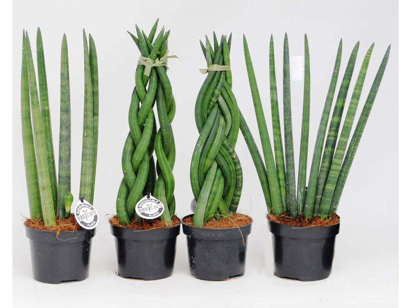 Sansewieria cylindryczna, wężownica (Sansevieria sp.) kupuj w OBI