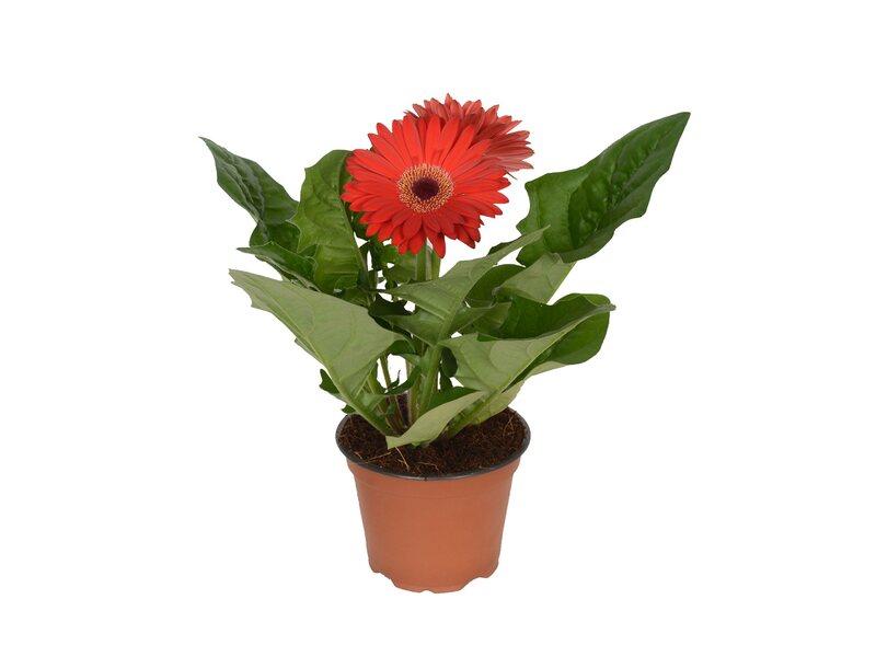 Gerbera 2 Kwiaty Czerwien 22cm Don 12cm Kupuj W Obi
